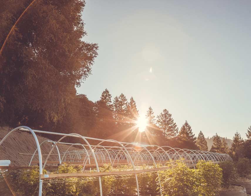 Organic Cannabis Farm