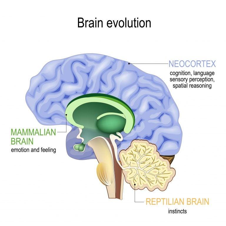 Limbic System controls emotion