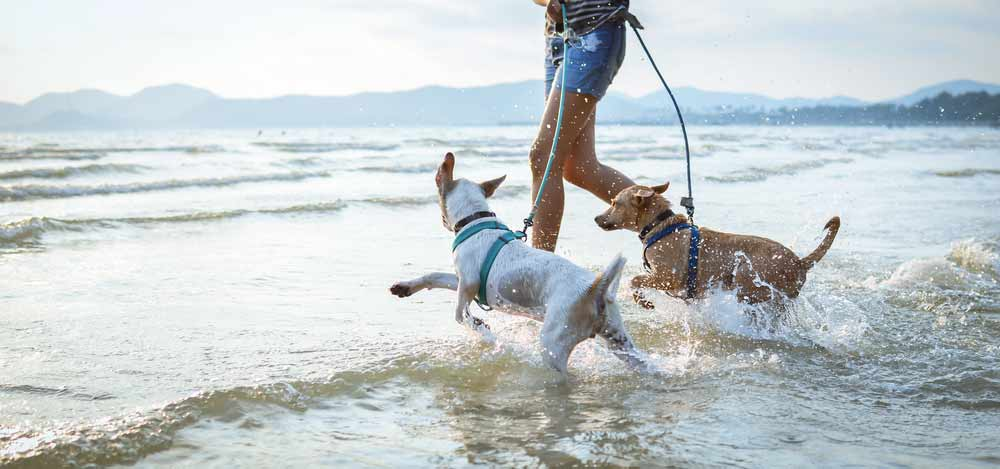 Dogs playing with their owner at the beach - is CBD good for my pet?