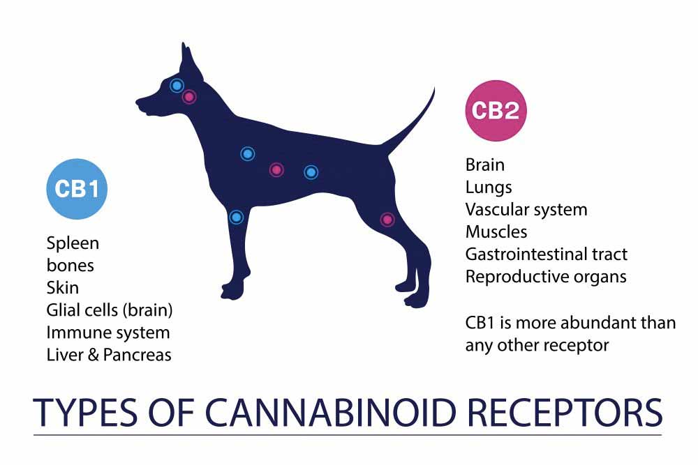 Cannabinoid receptors in pets infographic - is CBD good for my pet?