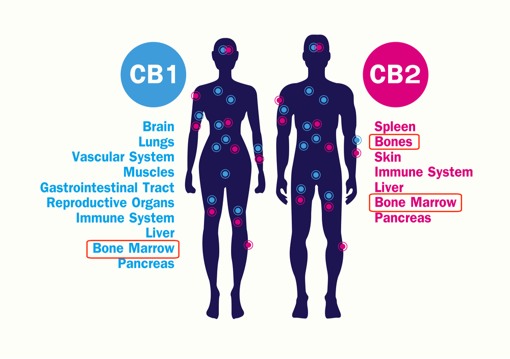 The Endocannabinoid system and bone health
