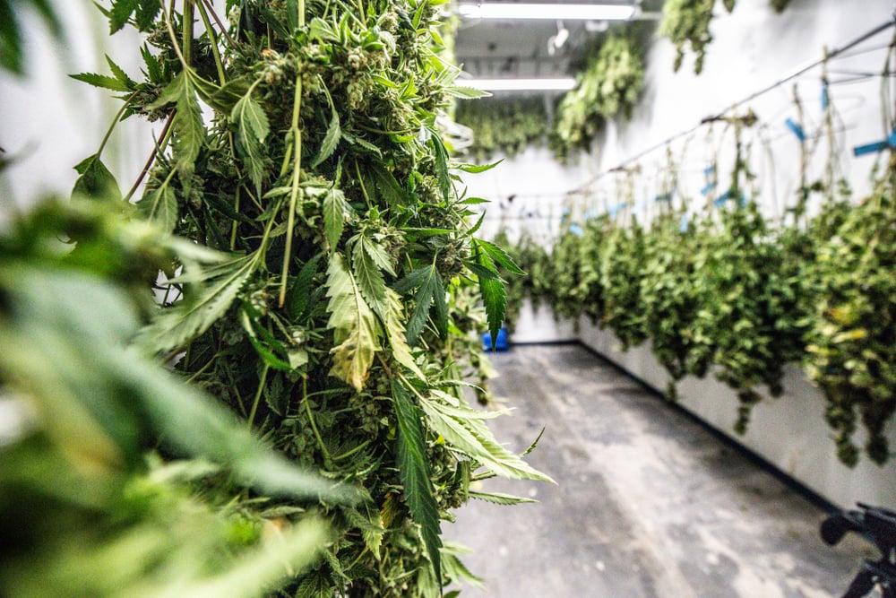 medicinal cannabis legal