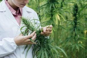 Marijuana growth