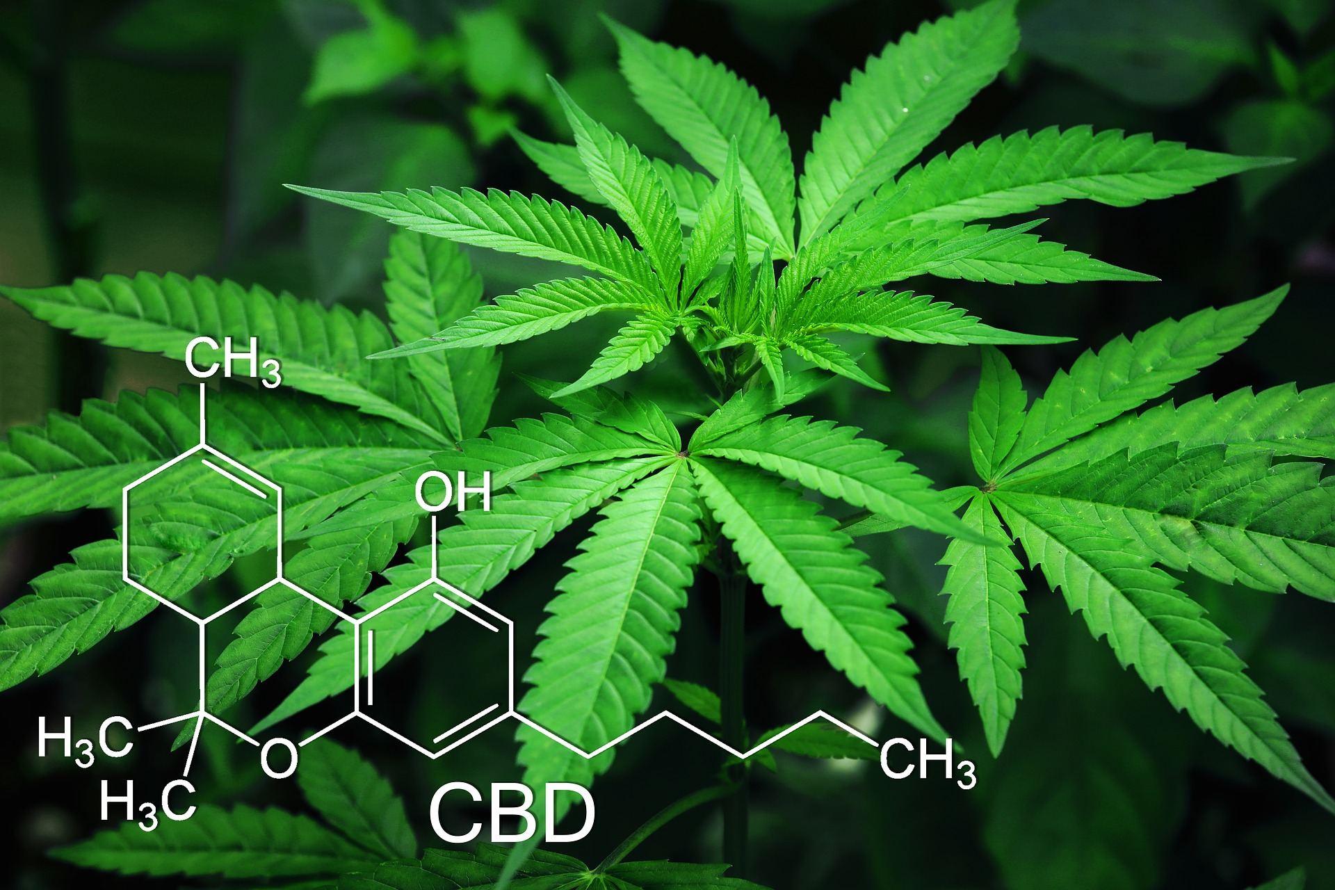 CBD plant and organic chemical composition